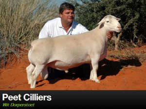 Upington Businesses | Peet Cilliers - Wit Dorperstoet